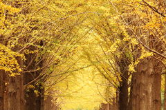 Ginkgo trees. The ginkgo trees in autumn with light Stock Photos
