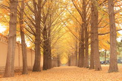 Ginkgo trees. The ginkgo trees in autumn with light Royalty Free Stock Image