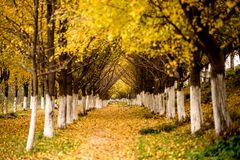 Ginkgo trees Royalty Free Stock Images