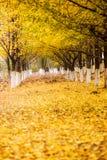 Ginkgo trees Stock Photo