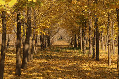Ginkgo trees. The autumn of ginkgo trees, leaves into a golden yellow Stock Image