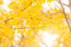 Ginkgo trees Autumn Royalty Free Stock Photo