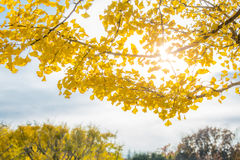 Ginkgo trees Autumn Royalty Free Stock Photo