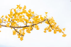 Ginkgo trees Autumn Royalty Free Stock Image