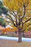 Ginkgo Trees in fall colors Royalty Free Stock Photo