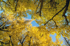 The ginkgo trees in garden Stock Photography