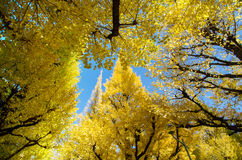 Ginkgo trees in garden, Tokyo, Japan Stock Photo