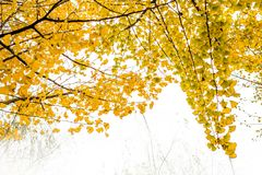 Ginkgo trees Stock Photography