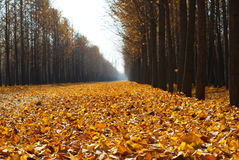 Ginkgo trees with golden yellow leaves Stock Photo