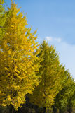 Ginkgo trees on the way to become the yellow leaves Stock Photography