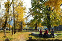 Ginkgo valley holiday Stock Photography