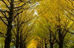 Ginkgo von Bäumen gesäumt an Hikarigaoka-Park in Tokyo Lizenzfreie Stockfotos