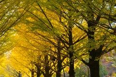 Ginkgo von Bäumen gesäumt an Hikarigaoka-Park in Tokyo Lizenzfreies Stockbild