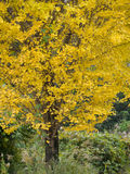 Ginkgo yellow leaves in autumn Royalty Free Stock Photos