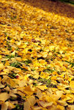 Ginkgo yellow leaves Royalty Free Stock Image
