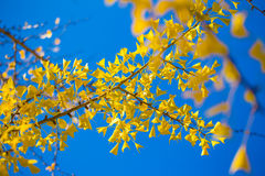 Ginkgo, Stock Images