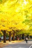 Ginkgoavenyn i Hokudaien, Hokkaido universitet i Japan Royaltyfri Bild