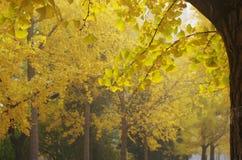 Ginkgobäume auf beiden Seiten von der Straße stockbild