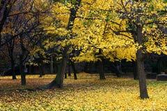 Ginkgobäume mit goldenen gelben Blättern Lizenzfreie Stockfotografie
