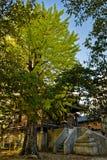 Ginkgobaum und -tempel stockfoto