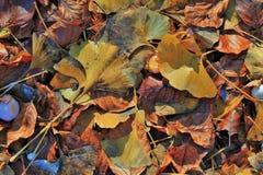 Ginkgobiloba gevallen bladeren Stock Fotografie