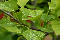 GinkgoBiloba sidor med regndroppar Arkivbilder