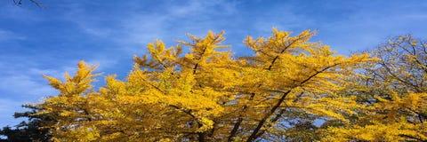Ginkgobilobaträd med gula sidor på nedgångsäsongen arkivbild