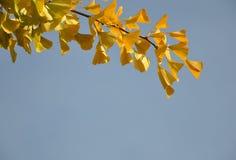 Ginkgoblätter im Fall stockbild