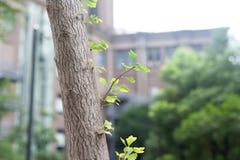 Ginkgoblad-sidofilial-Ginkgo biloba L arkivfoto