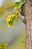 ginkgobladeren in de herfst Stock Afbeelding