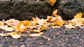 Ginkgobladeren die aan de grond in de herfst vallen royalty-vrije stock foto
