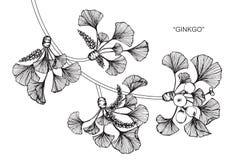 Ginkgobladteckningen och skissar Royaltyfria Bilder