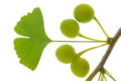 Ginkgoblatt Stockbild