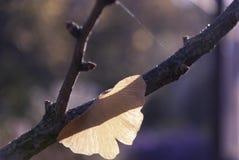 Ginkgoblatt im Herbst morgens Lizenzfreie Stockfotos