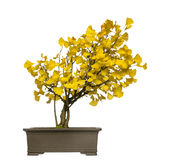 Ginkgobonsaiträd som isoleras Arkivfoto