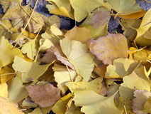 Ginkgoboom 2 Royalty-vrije Stock Afbeelding
