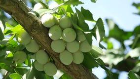 Ginkgoboom en Ginkgo-noten