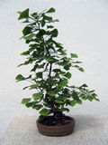 Ginkgoboom van de bonsai Royalty-vrije Stock Fotografie