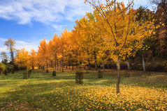 Ginkgodunge Virginia State Arboretum Blandy Farm Fotografering för Bildbyråer