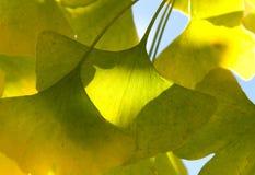 Ginkgoen lämnar i solljuset Royaltyfria Bilder