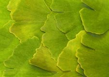 Ginkgoes bilobate - background. Sorted and by hand compound seats of ginkgo tree Royalty Free Stock Photography