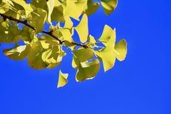 Ginkgoniederlassung und -himmel stockfotos