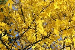 Ginkgoträd i höst med gula sidor arkivfoto