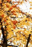 Ginkgoträd med gulingsidor - på en solig dag Fotografering för Bildbyråer