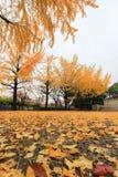 Ginkgoträd på Osaka Castle Park, Japan Arkivbild