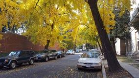 Ginkgoträd vänder ljus guling i höst Arkivfoto