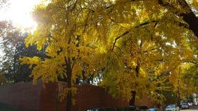 Ginkgoträd vänder ljus guling i höst Royaltyfria Bilder