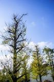 Ginkgoträdet Royaltyfria Bilder