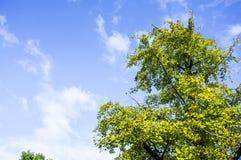 Ginkgoträdet Arkivfoto