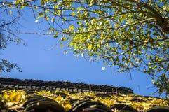 Ginkgoträdet Arkivfoton